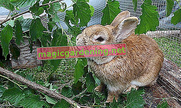 Može li se lubenica hraniti zečevima?