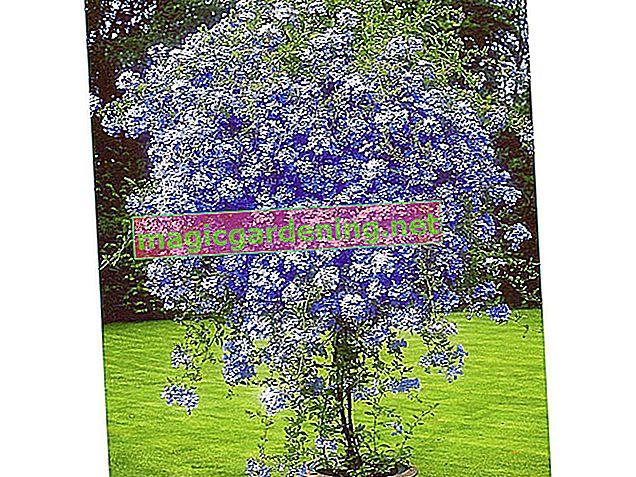 Lovor od trešnje: lijepa biljka za kontejnere za balkone i terase