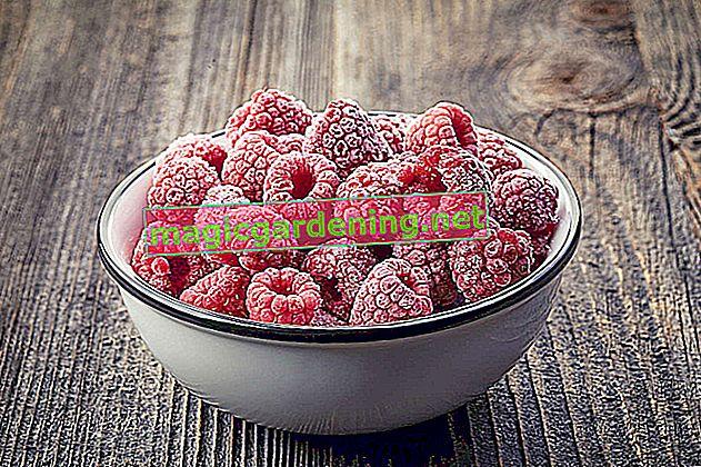 Freezing raspberries - preserving fruits gently