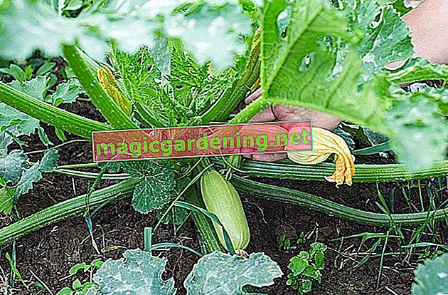 Jungfer im Grünen: des graines polyvalentes
