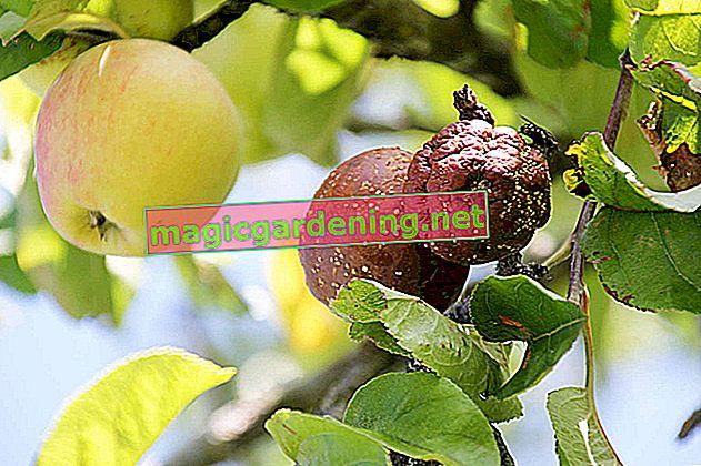Bolesti na stablu jabuka i njihovo liječenje