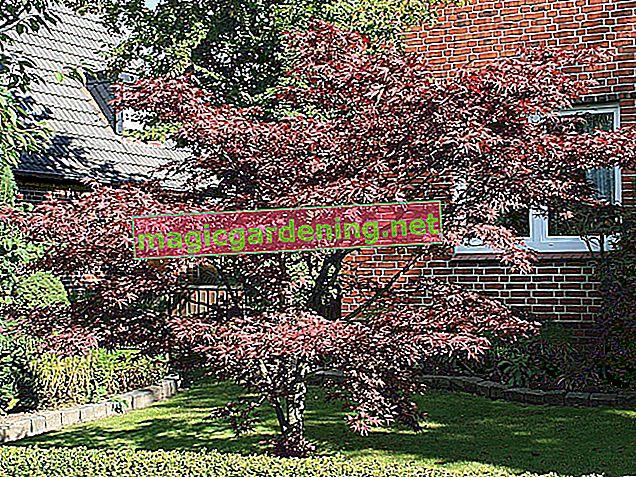 Krvna šljiva kao visoka stabljika: dekorativna alternativa