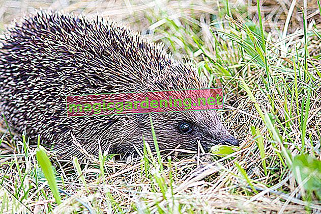 Recognize and distinguish hedgehog droppings - this is how it works