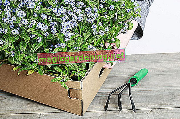 Forget-me-not: plante et soin