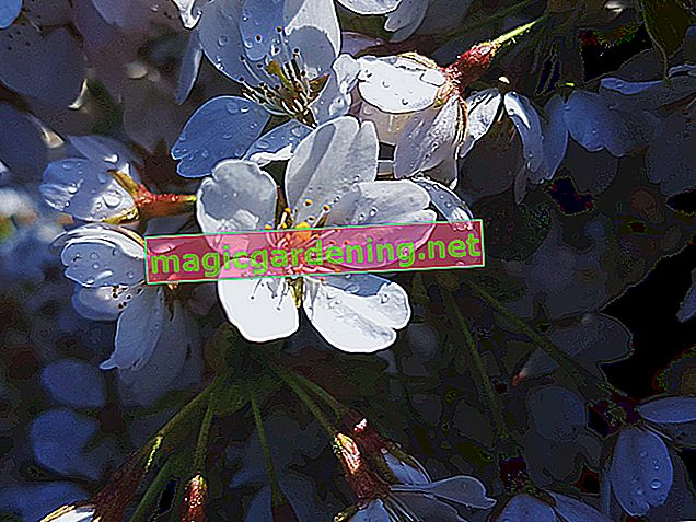 Les cerisiers auto-fertilisants sont utiles