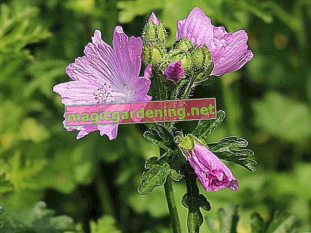 Musk mallow: location, care, pruning, use