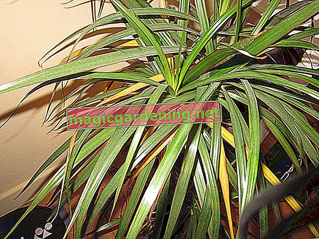 Koliko često morate zalijevati palmu yucca?