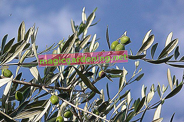 Zeytin ağacı - teras ve balkon için bir Akdeniz süsü