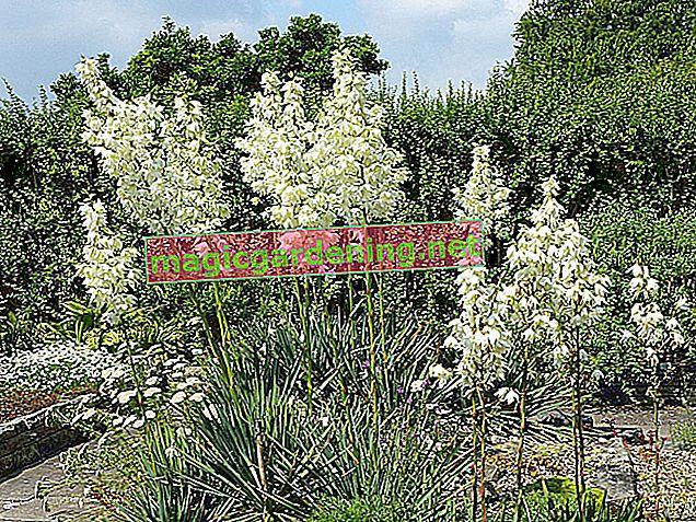 Yucca palmiyesi: Bitkinin hangi kısımlarını kesebilirsin?