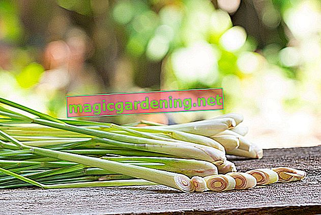 Growing lemongrass is easier than you think