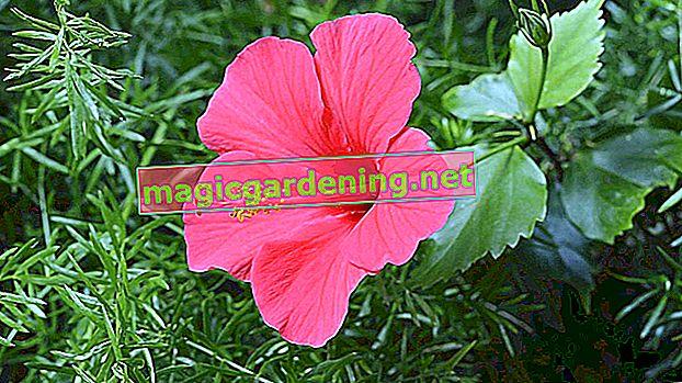 İrisin etkileyici çiçeği