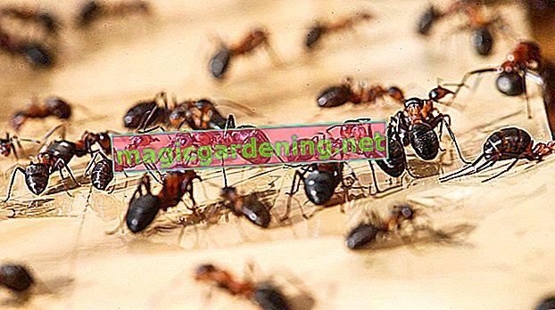 Borba s mravima na travnjaku - 10 najboljih savjeta