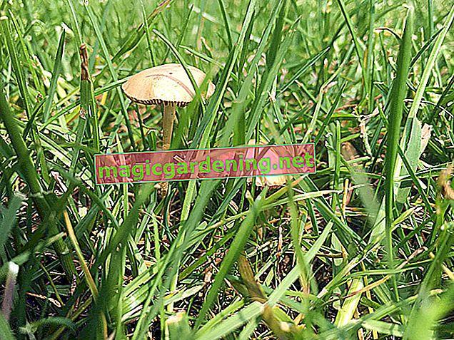 Prepoznajte gljive na travnjaku i uklonite ih ako je potrebno