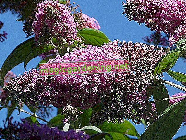 Transplanting buddleia - how it works