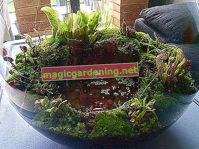 Care for carnivorous plants in the jar