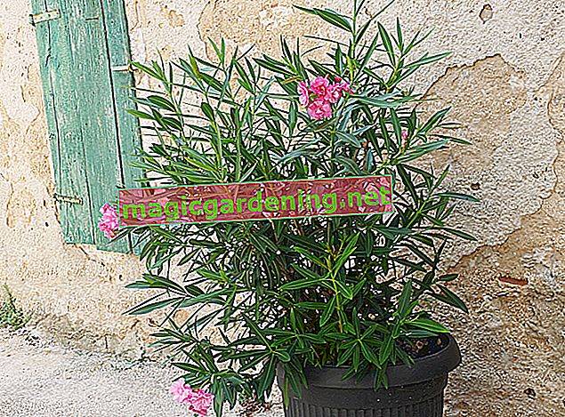 Oleander is easy to propagate using cuttings