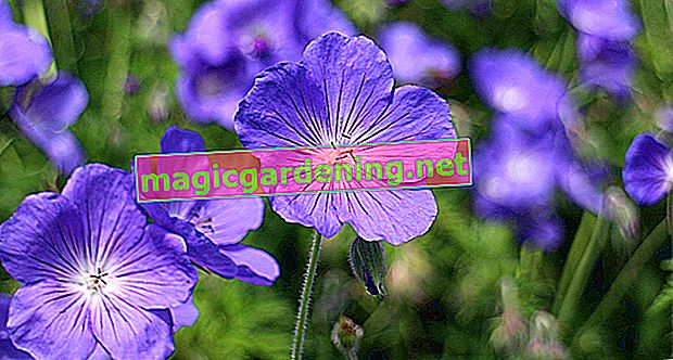Plant cranesbills correctly