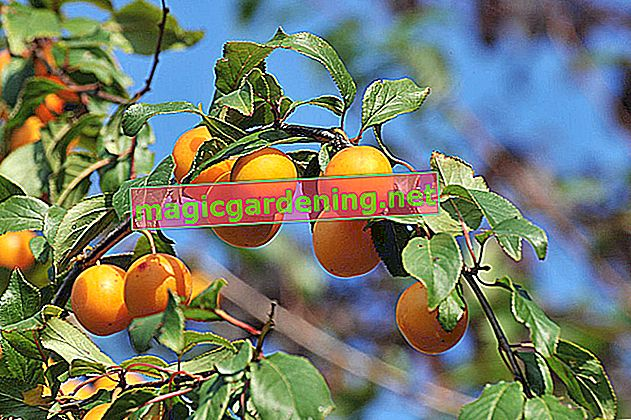 Is the wild mirabelle plum poisonous?