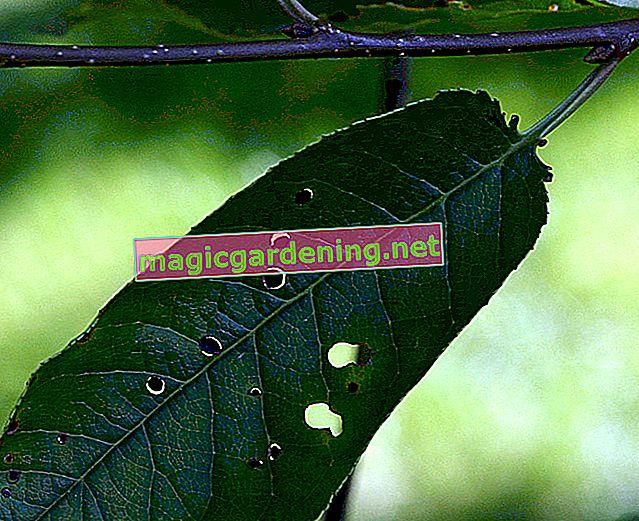 Prepoznajte i borite se protiv bolesti sačmarice u lovoriku trešnje