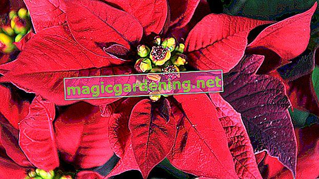 Zalijevajte božićnu zvijezdu pažljivo