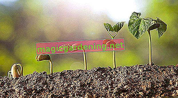 Будь-хто може придбати рослини кабачків - бажано і на підвіконні