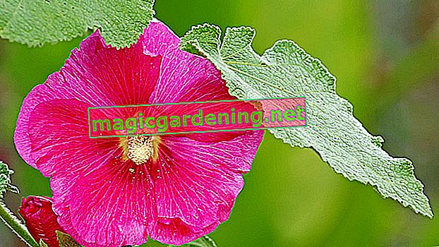 The best location for the hollyhock
