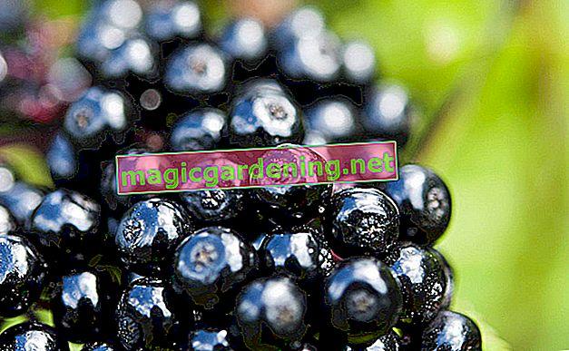 Elderberries - fruit of extremes - so incredibly versatile