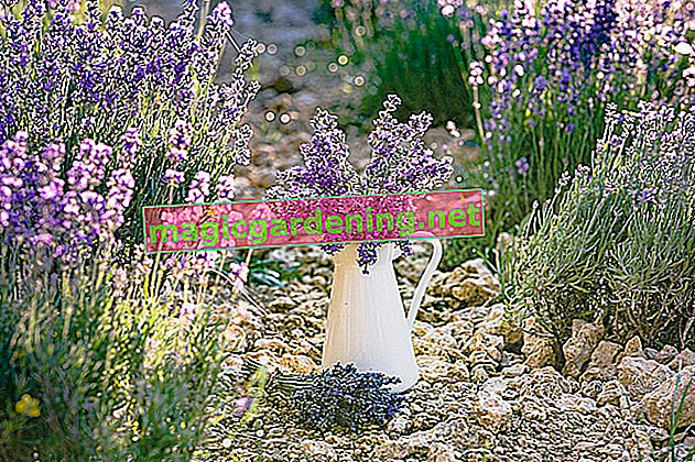 Only fertilize lavender carefully