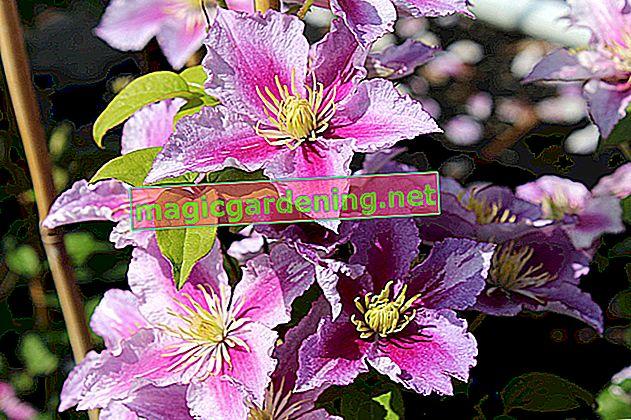Ovi klematisi postižu dugo vrijeme cvjetanja