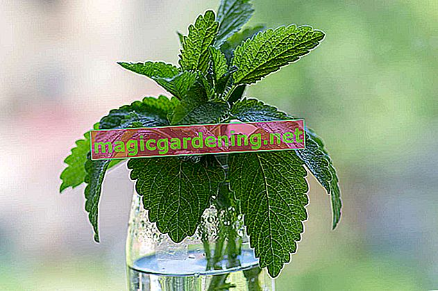 Freeze lemon balm perfectly - this is how it works