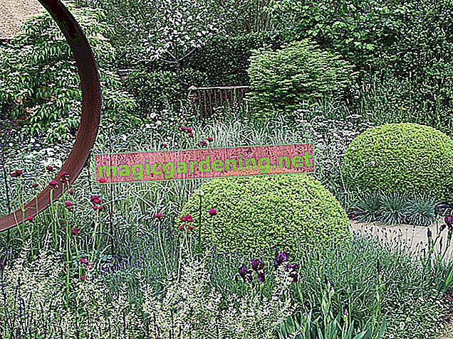 Cvjetovi šimšira - režu se tek nakon cvatnje