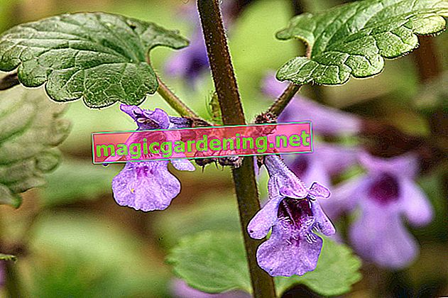 The edible dead nettle as an enrichment of the menu