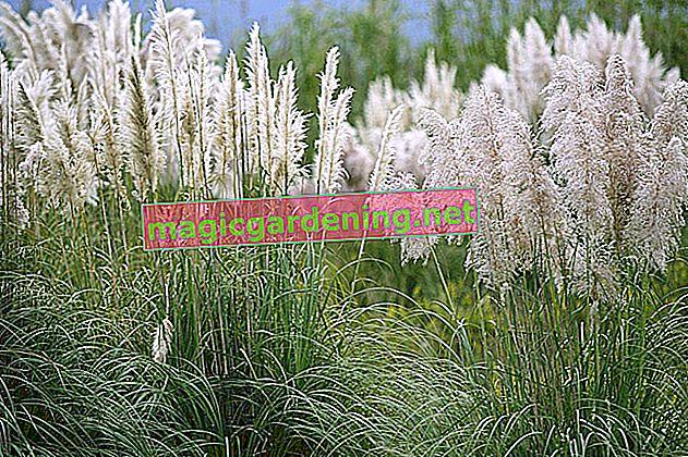 Hiverner correctement l'herbe de la pampa à l'extérieur ou dans des seaux