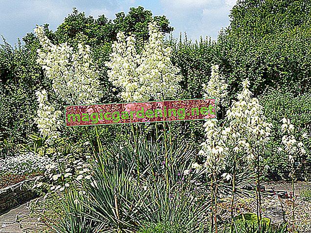 Najljepša vrsta palme yucca za kuću i vrt
