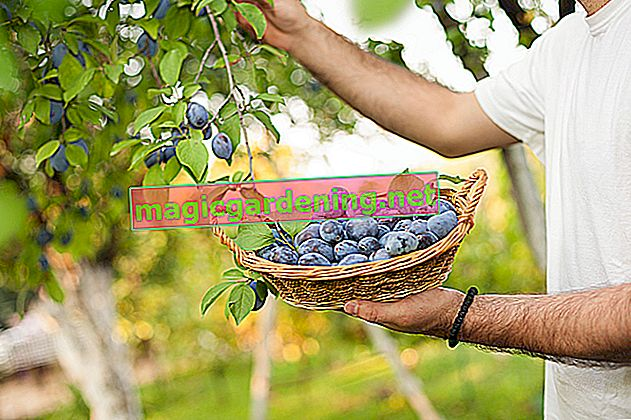 Store plums properly and properly ripen