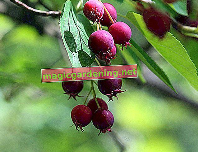 I frutti della pera di roccia - decorativi e commestibili