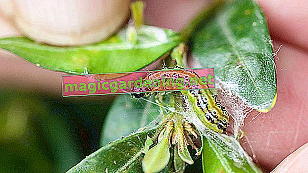 Is the garden bug a dreaded pest?