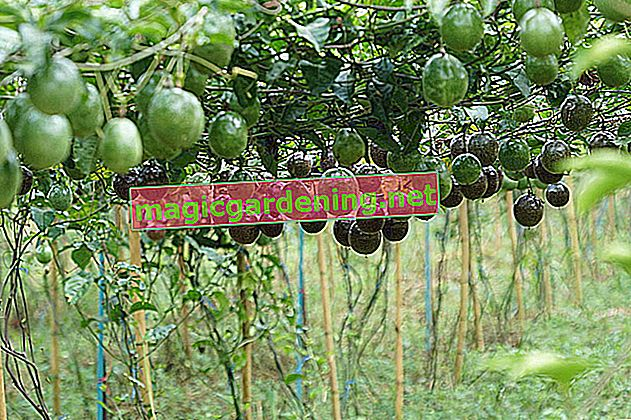 Plant and harvest passion fruit yourself