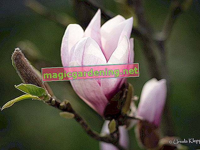 Is the evergreen magnolia hardy?
