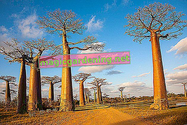 Najpopularnija sobna biljka: poznato drvo baobaba