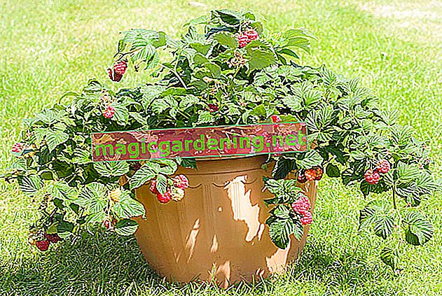 Brewing raspberries in a pot - tips for keeping them in a bucket