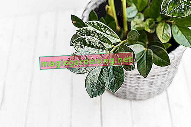 Cutting is not necessary with Zamioculcas
