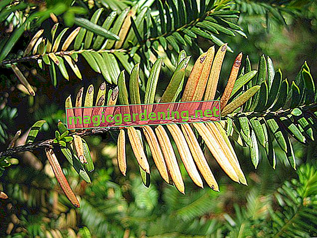 Conifer loses needles - what to do?