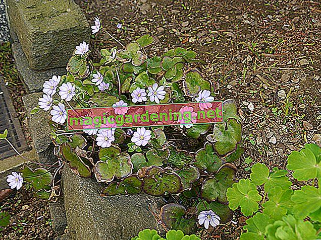Kekik - Haziran ve Ekim ayları arasında bol çiçeklenme
