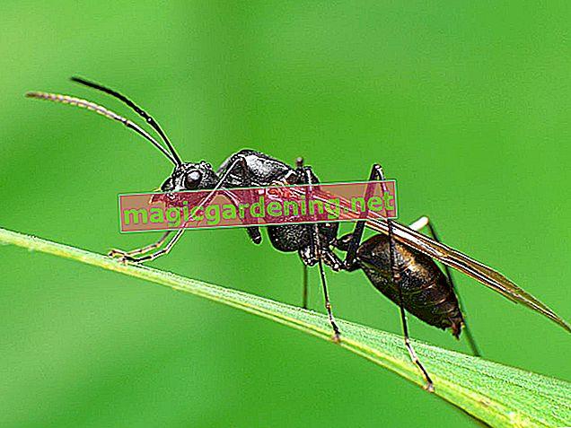Poznavati i boriti se s letećim mravima