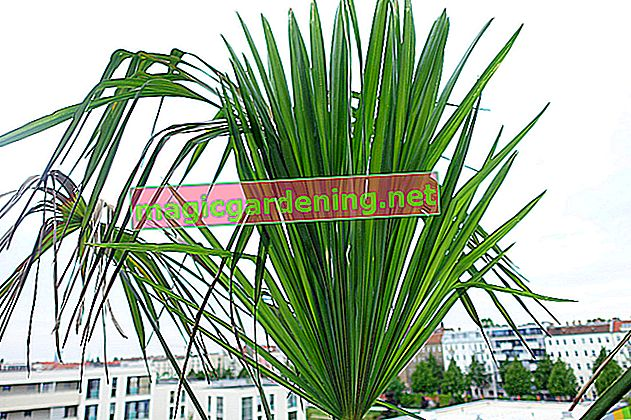 What care does the popular Kentia palm need?