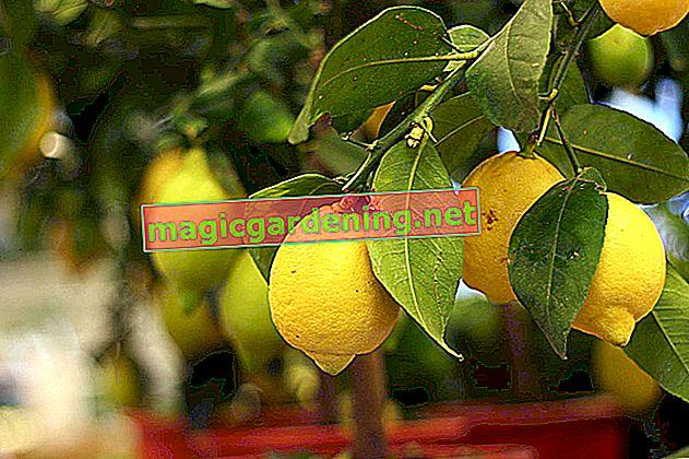 Fertilize lemon tree regularly