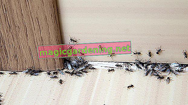 Što učiniti protiv mrava u cvjetnjaku