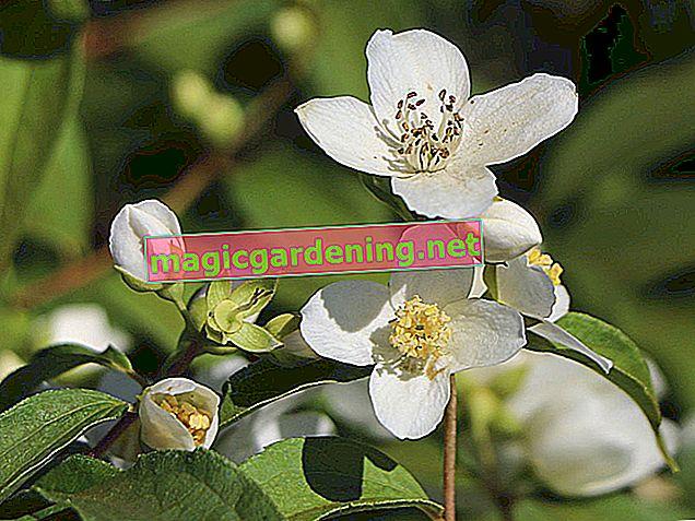 Jasmin nosi prelijepe cvjetove snažnog mirisa
