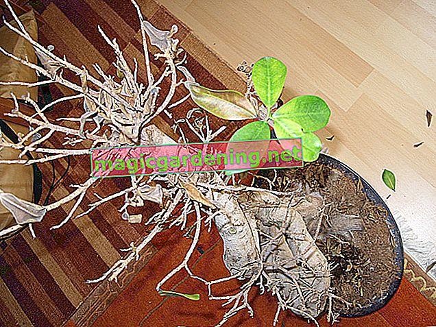 Ficus benjamina kao bonsai - upute za njegu sa savjetima i trikovima